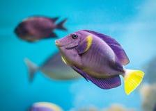 Pescados tropicales Imagen de archivo