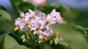 Primer, patatas de florecimiento Pálido - las flores rosadas florecen en arbustos de la patata en un campo de granja Crecimiento  almacen de metraje de vídeo