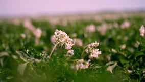 Primer, patatas de florecimiento pálido - las flores rosadas florecen en arbustos de la patata en un campo de granja Crecimiento  metrajes