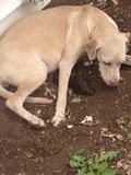 Primer perrito de seis que es llevado a esta mezcla de Weimarner/del laboratorio Foto de archivo