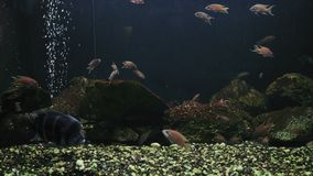 Primer, pescado exótico detrás del vidrio en acuario entre otros pescados metrajes