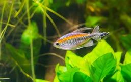 Primer pescado ligero del resplandor de un tetra, un pequeño pescado tropical del río de Essequibo de Guayana imágenes de archivo libres de regalías