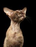 Primer Peterbald Sphynx Cat Curiosity Looking en negro Fotos de archivo