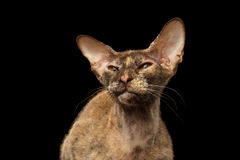 Primer Peterbald Sphynx Cat Curiosity Looking en negro Foto de archivo libre de regalías