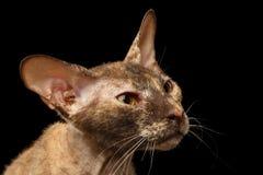 Primer Peterbald Sphynx Cat Curiosity Looking en negro Foto de archivo