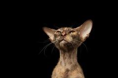 Primer Peterbald Sphynx Cat Curiosity Looking en negro Fotografía de archivo