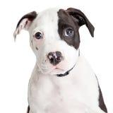 Primer Pit Bull Puppy lindo Fotos de archivo