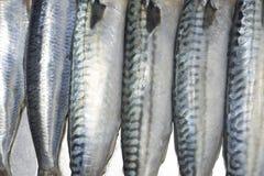 Primer preparado de los pescados Imagen de archivo libre de regalías