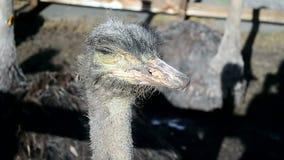 Primer principal de la avestruz, África, diversidad de los animales almacen de video