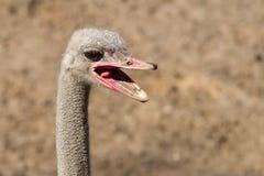Primer principal de la avestruz Imagen de archivo