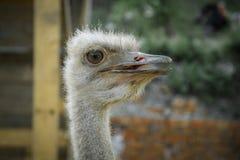Primer principal de la avestruz Fotos de archivo libres de regalías