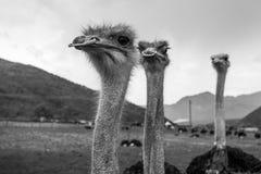 Primer principal de las avestruces Imagen de archivo libre de regalías