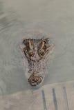 Primer principal del cocodrilo Fotos de archivo