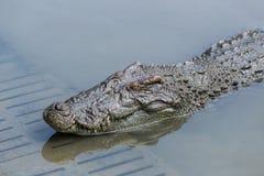 Primer principal del cocodrilo Imagen de archivo libre de regalías