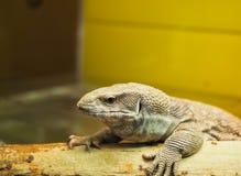 Primer principal del lagarto fotos de archivo libres de regalías