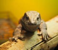 Primer principal del lagarto fotografía de archivo libre de regalías