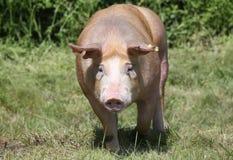 Primer principal del tiro de un cerdo joven del Duroc-Jersey en el prado imagenes de archivo