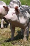 Primer principal del tiro de un cerdo joven del Duroc-Jersey en el prado imagen de archivo