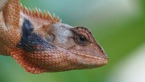 Primer principal del tiro del lagarto Fotografía de archivo