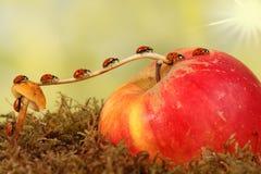 Primer que muchas pequeñas mariquitas se mueven en una rama desde hongo en Apple El concepto de movimiento o de migración fotos de archivo