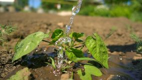 Primer que riega una planta verde que crece en la granja El agua cae caída en las hojas verdes y el brillo en el sol, cámara lent metrajes