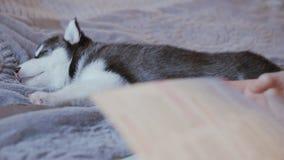 Primer, resbalador, muchacha durmiente del perrito del husky siberiano que hojea a través de un libro almacen de metraje de vídeo