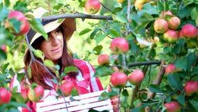 Primer, retrato del granjero de la mujer o agrónomo que lleva un sombrero, escogiendo manzanas en granja en huerta, en día solead almacen de video