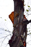 Primer retroiluminado de la corteza de abedul rojo foto de archivo