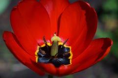 Primer rojo de la flor del tulipán Imagenes de archivo