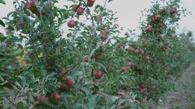 Primer rojo de las manzanas almacen de video