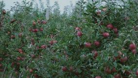 Primer rojo de las manzanas metrajes