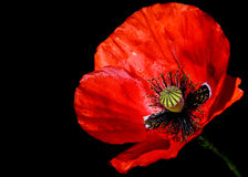Primer rojo de los rhoeas de Poppy Papaver contra un fondo negro Imagen de archivo libre de regalías