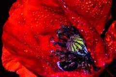 Primer rojo de los rhoeas de Poppy Papaver contra un fondo negro Imagen de archivo