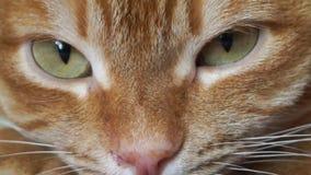Primer rojo del bozal del ` s del gato almacen de metraje de vídeo