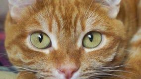 Primer rojo del bozal del ` s del gato almacen de video