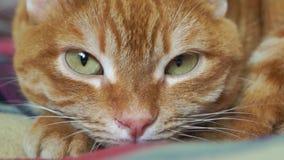Primer rojo del bozal del ` s del gato metrajes