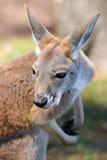 Primer rojo del canguro Fotografía de archivo