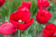 Primer rojo del tulipán fotos de archivo