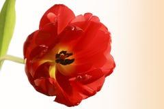 Primer rojo del tulipán Foto de archivo