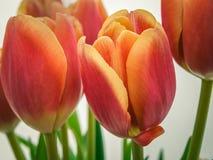 Primer rojo del tulipán Foto de archivo libre de regalías