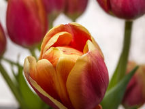 Primer rojo del tulipán Fotografía de archivo