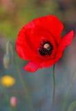 Primer rojo enorme de la amapola Imagen de archivo libre de regalías