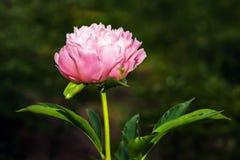 Primer rojo floreciente de la flor de la peonía Foto de archivo