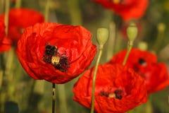 Primer rojo floreciente de las amapolas en el campo Imágenes de archivo libres de regalías