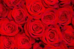 Primer rojo hermoso de las rosas Imágenes de archivo libres de regalías