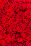 Primer rojo hermoso de las rosas Fotografía de archivo