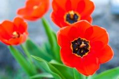 Primer rojo hermoso de los tulipanes foto de archivo