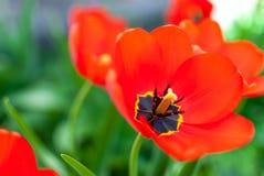 Primer rojo hermoso de los tulipanes foto de archivo libre de regalías
