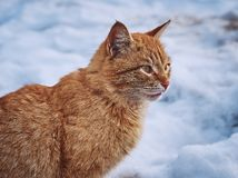 Primer rojo joven del gato en un fondo del paisaje nevoso fotos de archivo libres de regalías