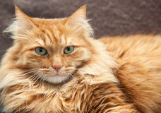 Primer rojo mullido del gato foto de archivo libre de regalías